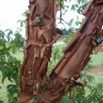 exfoliating bark