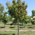 Tree form B&B field