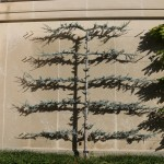 Unique espalier at Longwood Gardens