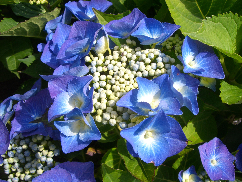 Hydrangea Teller Blue flower Blue Heron Nursery