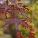 Early summer foliage and samaras