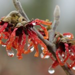 winter flower close up
