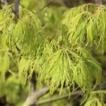 newly emerged spring foliage