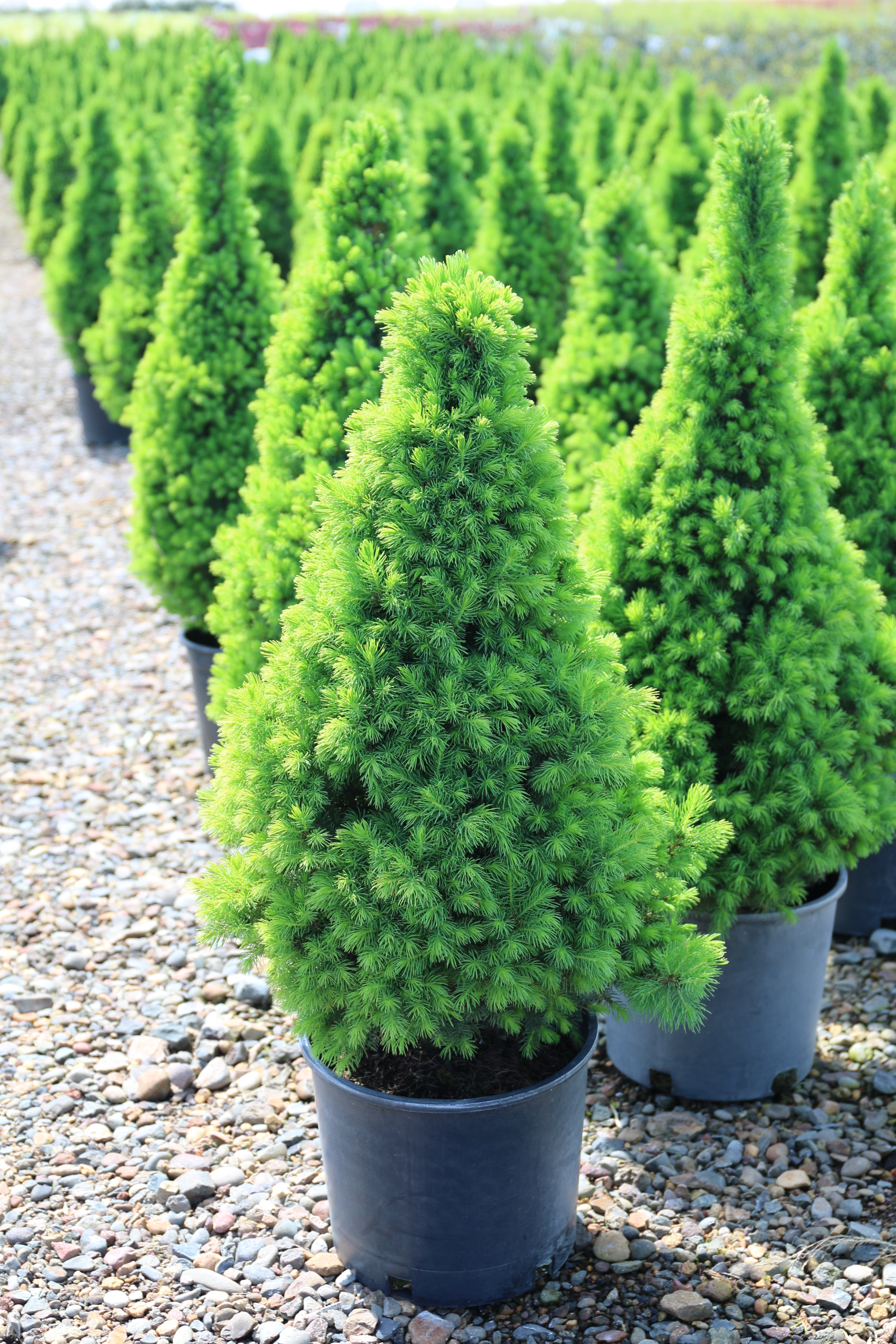 picea glauca conica 3g new growth 4 26 2015 1 16 22 am 2432x3648 blue heron nursery. Black Bedroom Furniture Sets. Home Design Ideas
