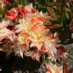 mid-spring fragrant flowers
