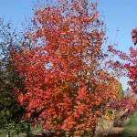multi-stem B&B in fall