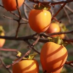 fruit in late autumn