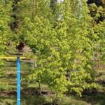 Acer grandidentatum MS#15 early spring