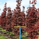 Acer platanoides Crimson Sentry #25