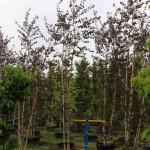 Betula Royal Frost clump #25