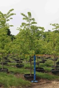 Prunus Akebono #25