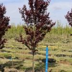 Prunus Krauter Vesuvius #25