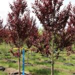 Prunus Thundercloud #25