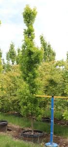 Quercus Fastigiate Koster #25