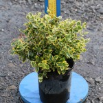 Euonymus fortunei 'Emerald 'N Gold'