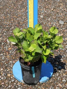 Hydrangea macrophylla 'Teller Blue'