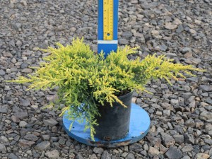 Juniperus chinensis 'Gold Star'