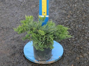 Juniperus sabina 'Tam New Blue'
