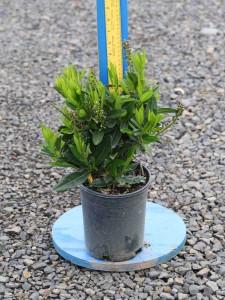 Prunus laurocerasus 'Otto Luykens'