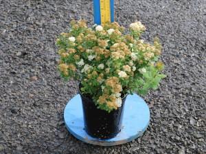 Spiraea betulifolia 'Tor'