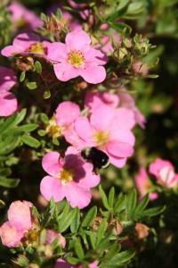 Potentilla Pink Beauty
