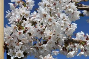 Prunus Snowfountains flowers
