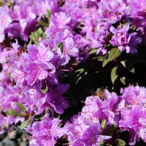 Rhododendron Purple Gem