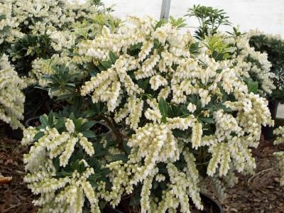 Pieris japonica 'Cavatine'