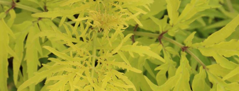 Sambucus racemosa 'SMNSRD4' PP26613 Proven Winners® Color Choice® Lemony Lace®